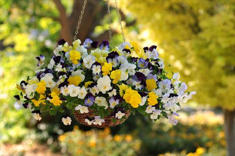 photo of flower to be used as: Pot, bedding, patio, basket Viola wittrockiana Cool Wave Pansies Mixture
