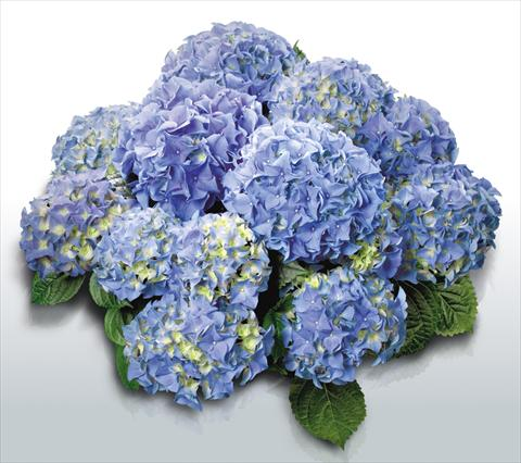 photo of flower to be used as: Pot and bedding Hydrangea macrophylla Early Blue©