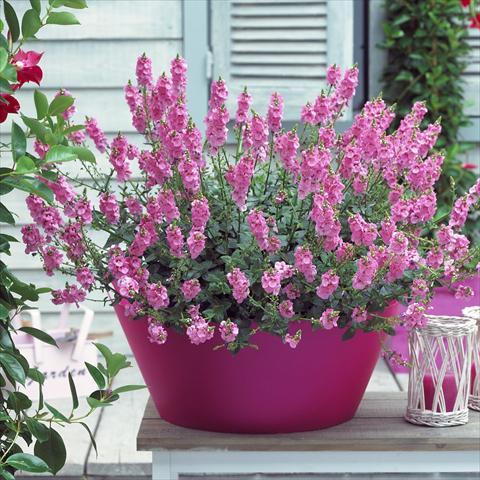 Vaso balcone basket diascia sundiascia blush pink for Fiori perenni pieno sole
