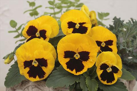 photo of flower to be used as: Pot and bedding Viola wittrockiana Premier Yellow with Blotch