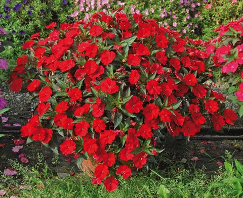 photo of flower to be used as: Pot, bedding, patio, basket Impatiens N. Guinea SunPatiens® Compact Red