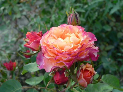 photo of flower to be used as: Bedding / border plant Rosa paesaggistica Rosa dei Diritti Umani