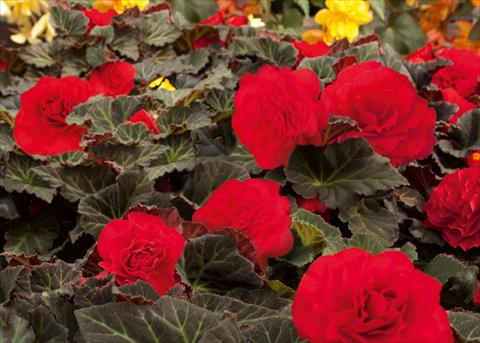 photo of flower to be used as: Pot, bedding, patio, basket Begonia tuberhybrida NonStop® Mocca Cherry