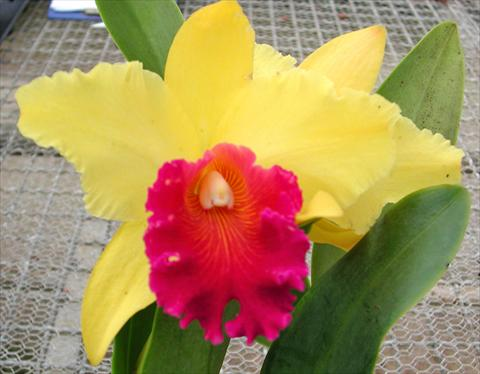 photo of flower to be used as: Pot Cattleya Yellow Ruby