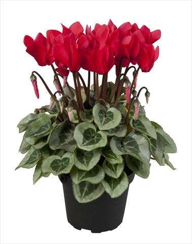 photo of flower to be used as: Basket / Pot Cyclamen persicum Super Serie® Rembrandt Red