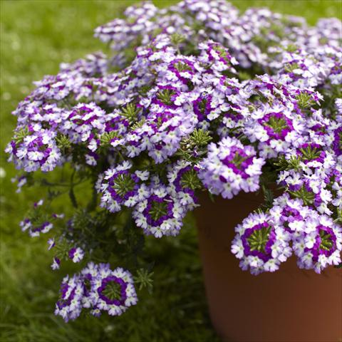 photo of flower to be used as: Pot, patio, basket Verbena Lanai® Twister Blue Imp