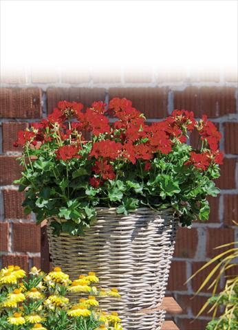 photo of flower to be used as: Pot Pelargonium interspec. Marcada Dark Red