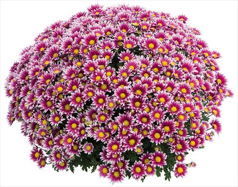 Vaso chrysanthemum crisantemo a fiore piccolo stela lilas - Crisantemi in vaso ...