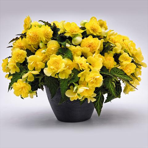photo of flower to be used as: Pot and bedding Begonia tuberhybrida Nonstop® JOY Yellow F1