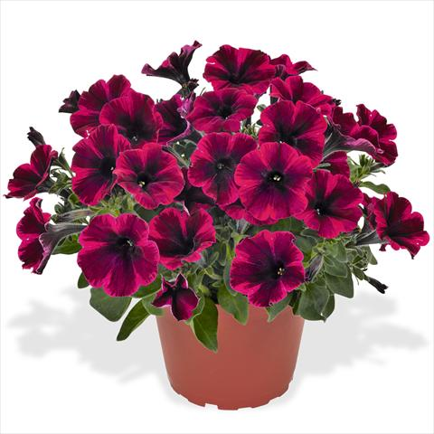 photo of flower to be used as: Basket / Pot Petunia hybrida Sweetunia Suize Storm