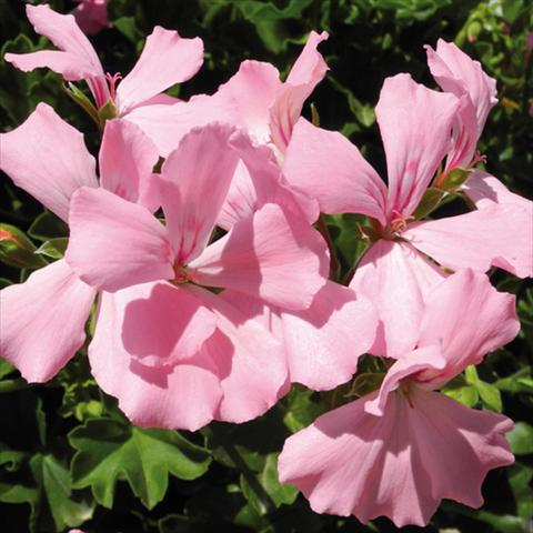 photo of flower to be used as: Pot Pelargonium interspec. Marcada Pink