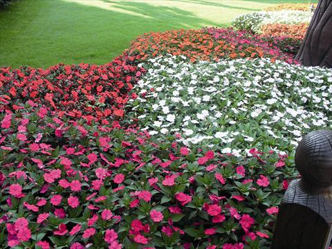 photo of flower to be used as: Bedding / border plant Impatiens N. Guinea SunPatiens®