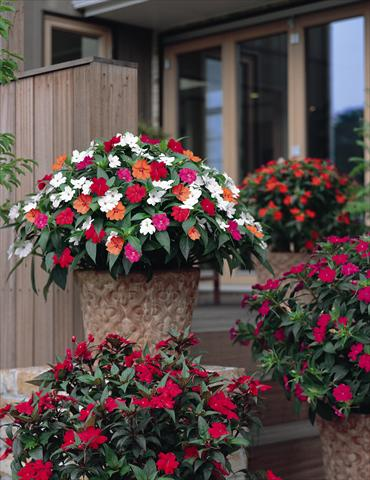 photo of flower to be used as: Bedding / border plant Impatiens N. Guinea SunPatiens® series