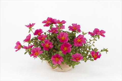 photo of flower to be used as: Pot, bedding, patio, basket Portulaca Duna® Magenta