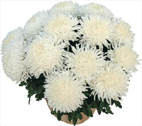 photo of flower to be used as: Pot Chrysanthemum Pikneige Blanc