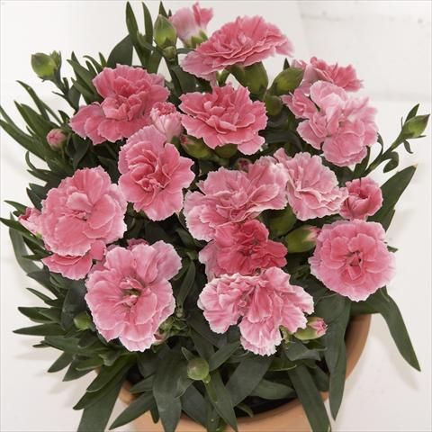 photo of flower to be used as: Pot, bedding, patio Dianthus caryophyllus SuperTrouper® Oscar Light Pink sel