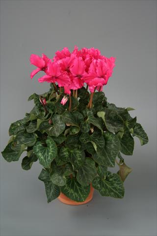 photo of flower to be used as: Pot, bedding, patio Cyclamen persicum Maxora Fringed Deep Rose