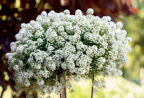 photo of flower to be used as: Patio, pot Lobularia maritima Snow Princess