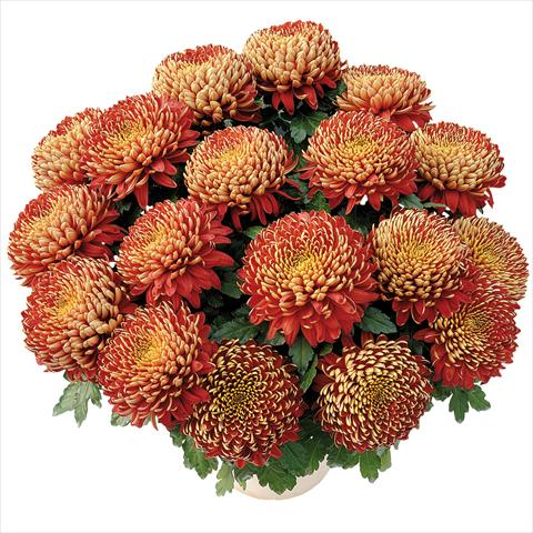 photo of flower to be used as: Pot and bedding Chrysanthemum Nagano®