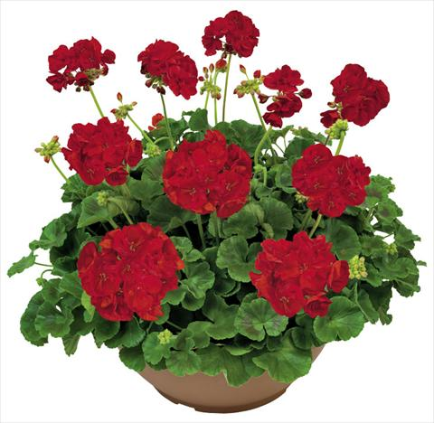 photo of flower to be used as: Patio, pot Pelargonium zonale Solar Light Ermes®