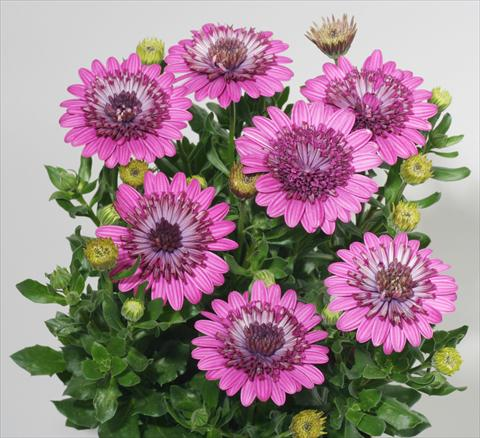 photo of flower to be used as: Pot and bedding Osteospermum FlowerPower® Double Purple