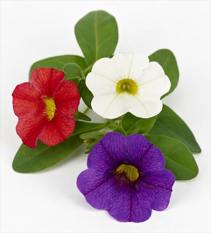 photo of flower to be used as: Pot, patio, basket Calibrachoa Mille Baci® French Kiss