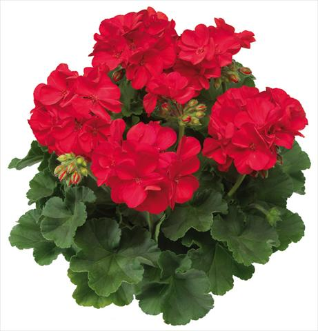 photo of flower to be used as: Pot Pelargonium interspec. Calliope™ Scarlet