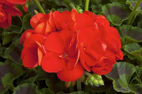 photo of flower to be used as: Patio, pot Pelargonium zonale Sunrise® Fernando