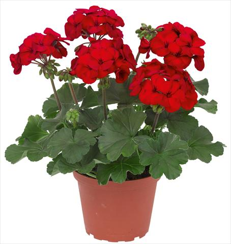 photo of flower to be used as: Patio, pot Pelargonium interspec. RED FOX Sarita Dark Red