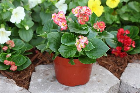 photo of flower to be used as: Bedding pot or basket Begonia Fairyland Coral Picotee