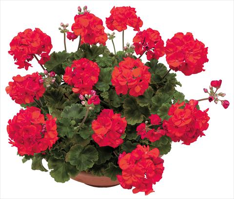photo of flower to be used as: Pot, bedding, patio Pelargonium zonale OpenEyes Red