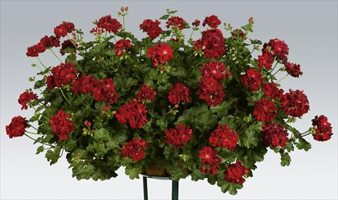 photo of flower to be used as: Pot, patio, basket Pelargonium peltatum pac® Kate