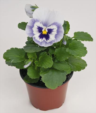 photo of flower to be used as: Pot and bedding Viola wittrockiana Inspire® Blue Angel