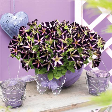 photo of flower to be used as: Pot, bedding, patio, basket Petunia hybrida Mystical™ Merlin