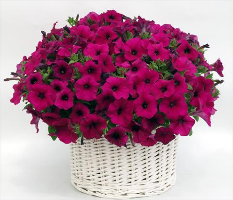 photo of flower to be used as: Pot, bedding, patio, basket Petunia multiflora Gioconda Violet