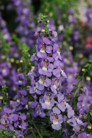 photo of flower to be used as: Pot, bedding, patio, basket Angelonia angustifolia Serena™ Blue