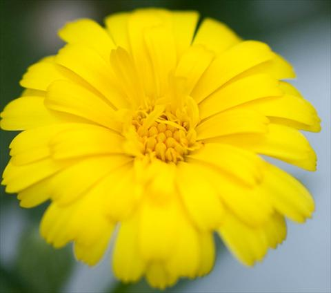 photo of flower to be used as: Pot and bedding Calendula officinalis Double